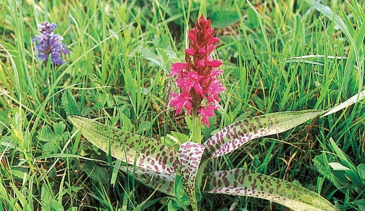 Orchideenwiese Laussa