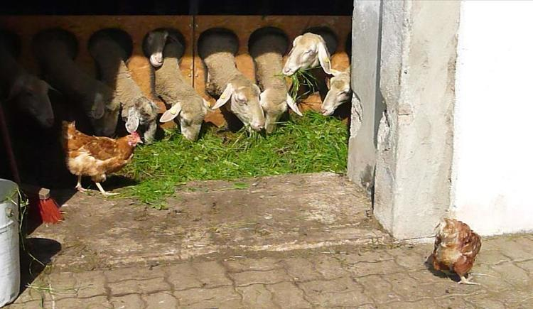 tägliche Schaffütterung (© berger)