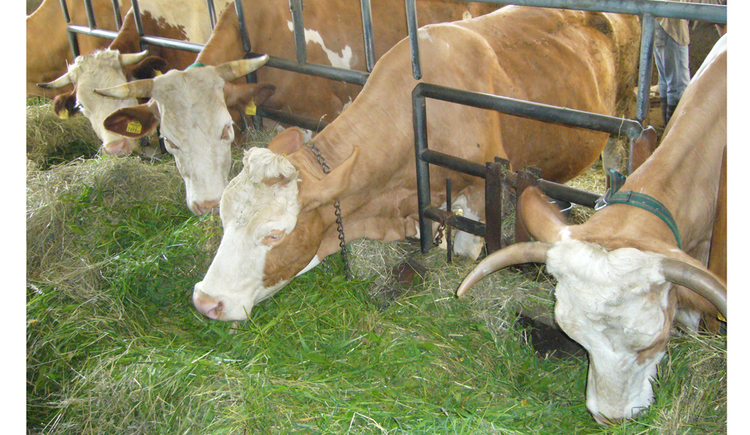 cows eat gras in the cowshed
