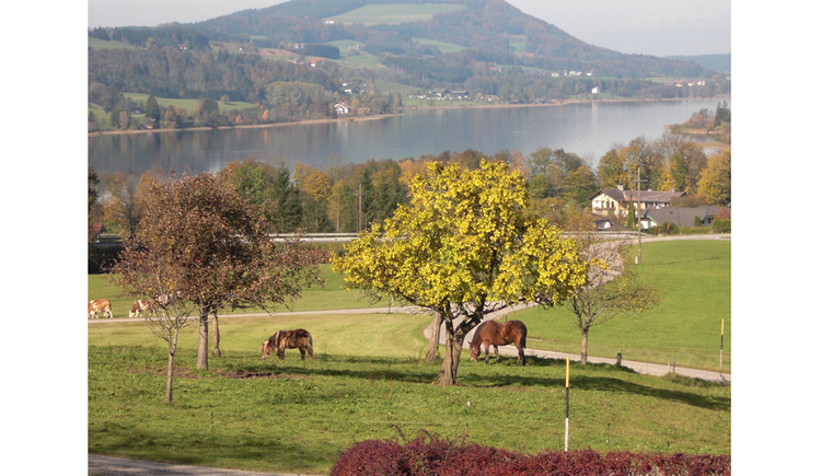 Landscape, horses and cows on the pasture, trees, in the background the lake and the mountains. (© Winter)