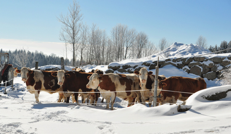 Winter - Kühe- Bauernhof Mittereibenberger
