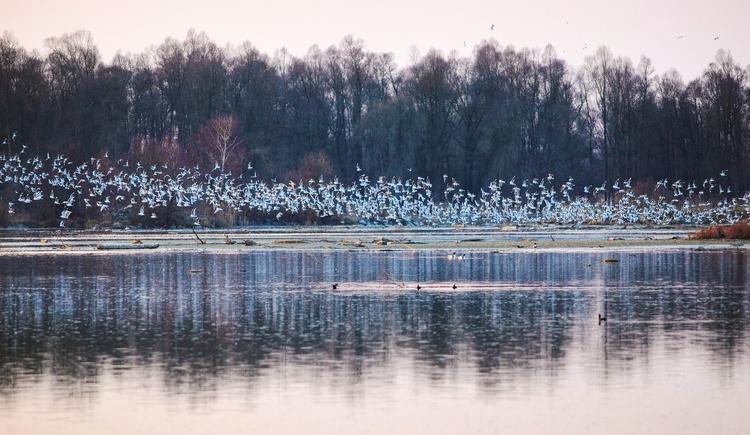 Herbstlicher Vogelzug im Europareservat Unterer Inn. (© Innviertel-Tourismus / Andreas Mühlleitner)