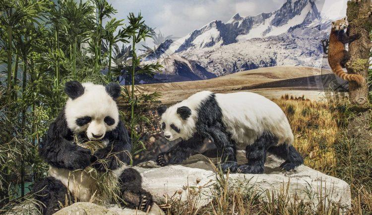 Großer Panda, Bewohner des Himalaya