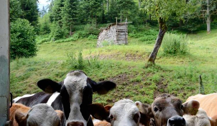 die Kühe sind sehr neugierig (© werner mair)