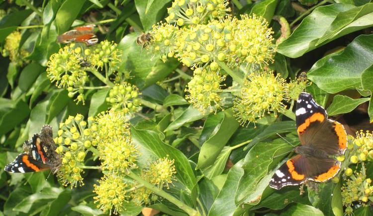 Schmetterlinge (© Hölzl)