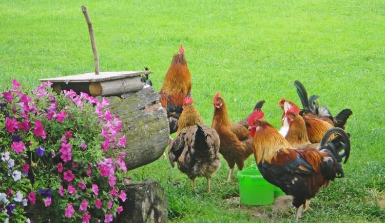 Hühnervolk (© Meixner)