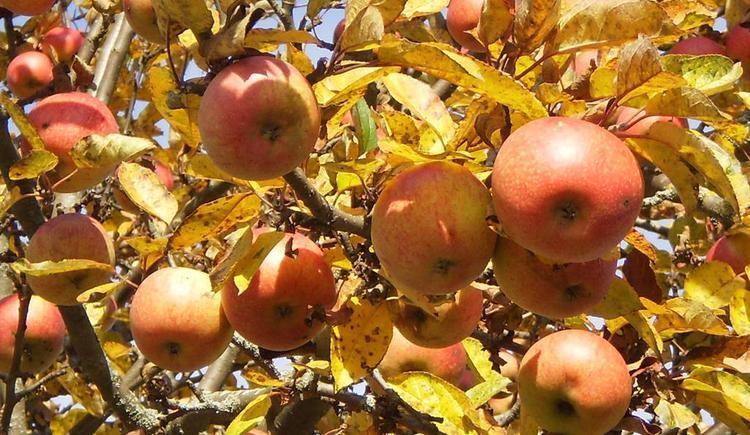 saftige Äpfel im Herbst