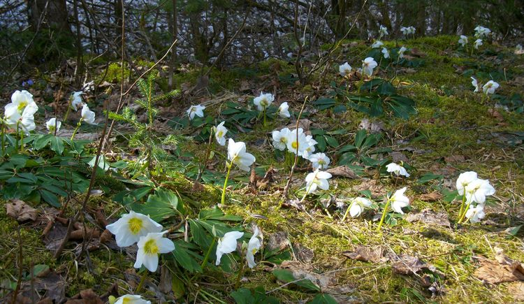 A wonder of nature: Immediately after snow has melted, thousands of wild Christmas Roses (Helleborus niger) blossom around our lodge