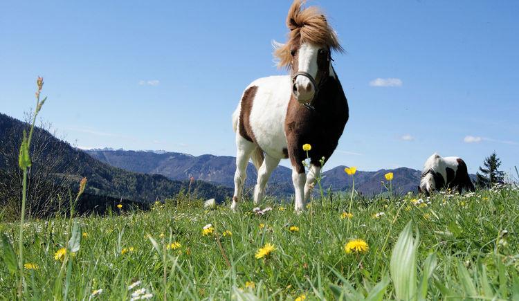 Liebling aller Kinder - die Pferde am Biohof Brückler (© Georg Brandner)