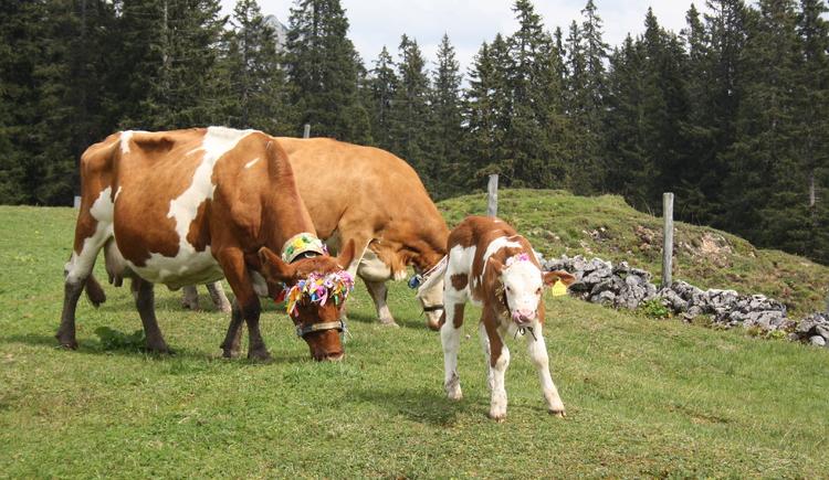 Kühe und Kälber werden geschmückt. (© Tourismusverband Inneres Salzkammergut - Elisabeth Grill)