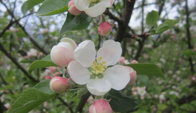 Hier sehen Sie eine weiße Apfelblüte eines Apfelbaumes in Bad Goisern.