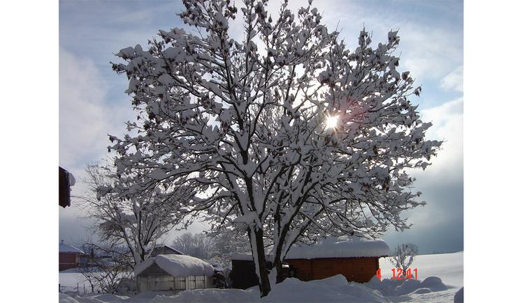 snowed tree. (© Jedinger)