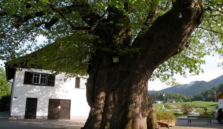 Einzigartige, 1000jährige Linde (© Tourismusverband Faistenau)
