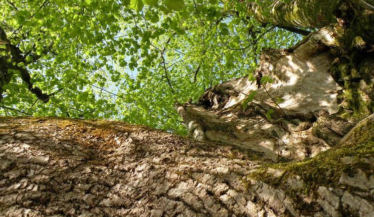 1000 year old linden tree (© Tourismusverband Faistenau)