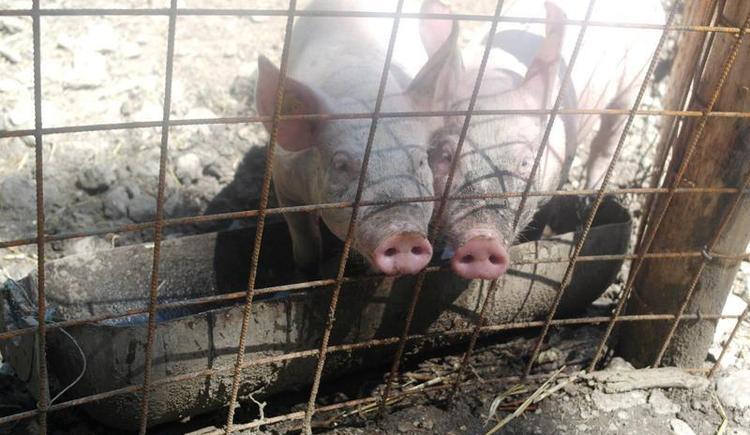 Schweinische Mitbewohner (© Roithhof)