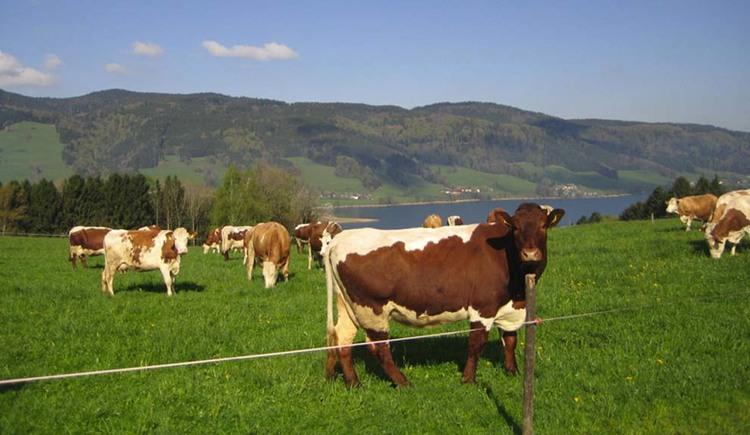 Kühe auf der Weide, im Hintergrund der See und die Berge. (© Tourismusverband MondSeeLand)
