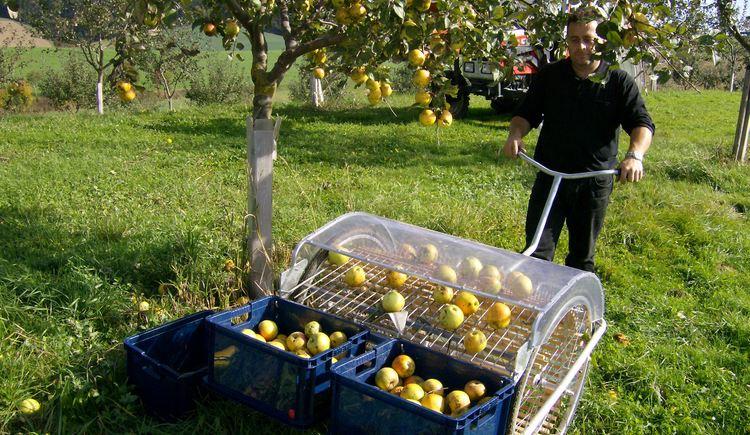 Weilbacher Mostbauer - Apfelernte für die hauseigene Mostproduktion