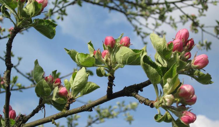 Apfelblüte (© Hölzl)