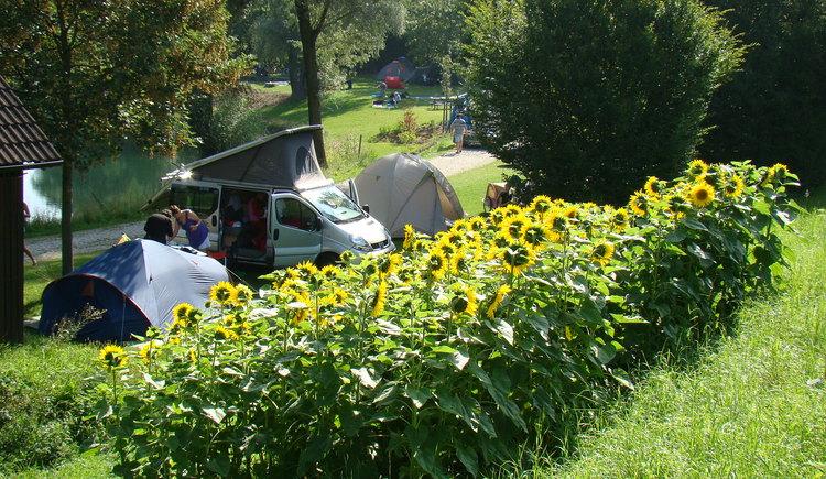 Camping Au an der Donau, Sonnenblumen. (© Gerhard Ebner)