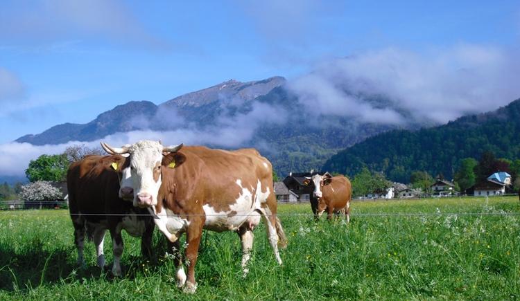 Stadlmannbauer cow