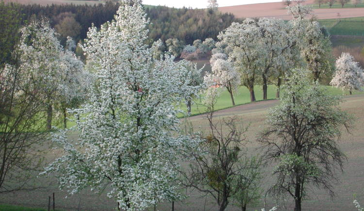 Landschaft in Scharten %c2%a9Rumersdorfer (© Naturpark Obst-Hügel-Land)