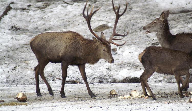 Hirsche- in freier Wildbahn lebend (© kloiber)