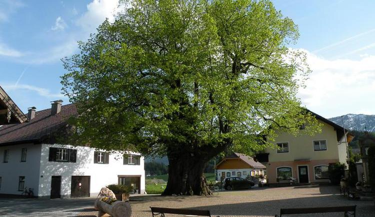 Emblem of Faistenau - 1000 year old linden tree (© Tourismusverband Faistenau)