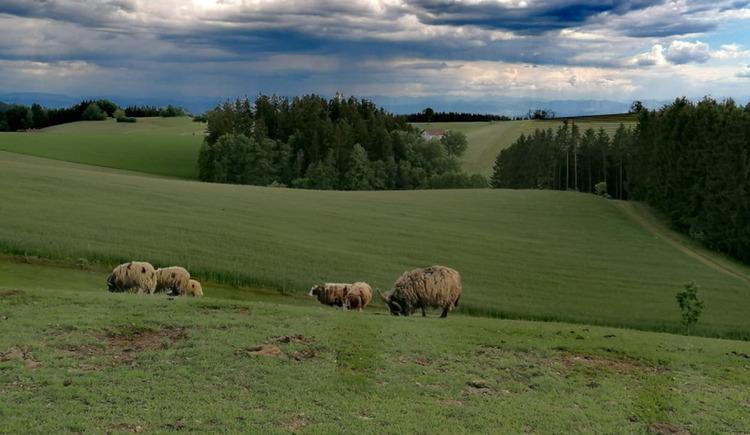 Schafe (© Maria Aichinger)