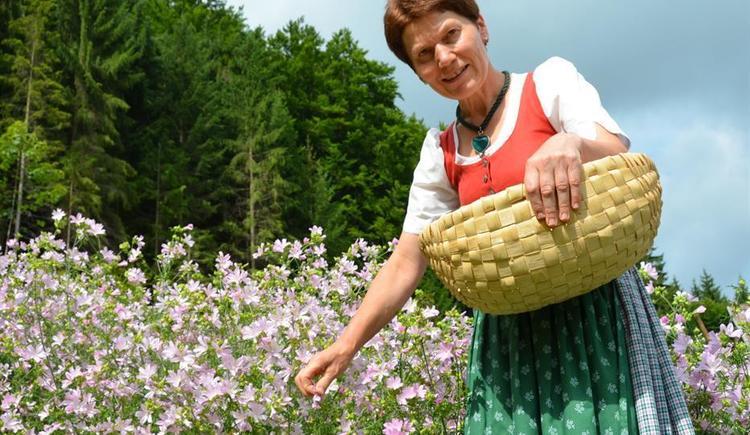 Blütenernte (© Kräuteralm)