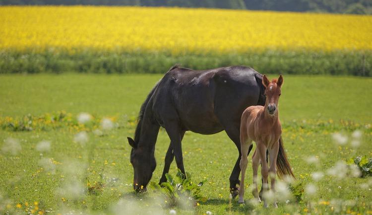Pferde auf Weide. (© pixabay)