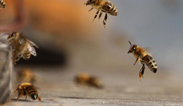 Bienen (© Bammer im Herndlberg)
