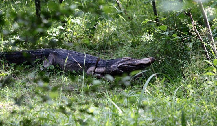 Krokodilzielscheibe im Hausruckpark Ampflwang. (© Hausruckpark Ampflwang)