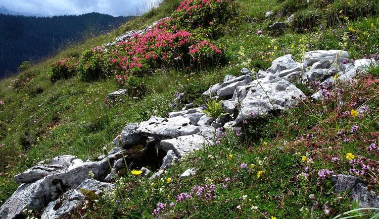 Wimper Alpenrose. (© WTG)