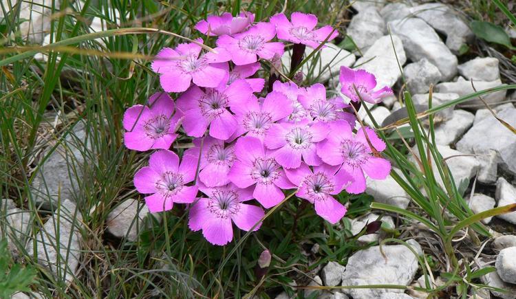 Ostalpen-Enzian Dianthus alpinus (© Martha Rieß)