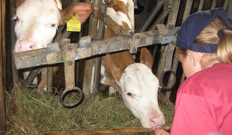 Beim Kühe und Kälber füttern mithelfen !