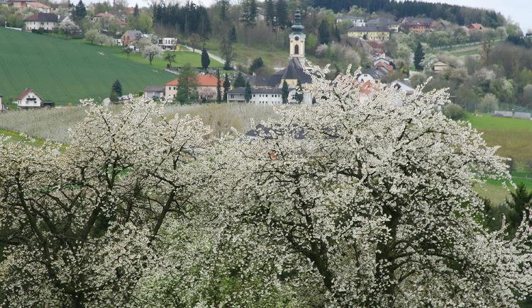 Kirschblüte 2012.jpg