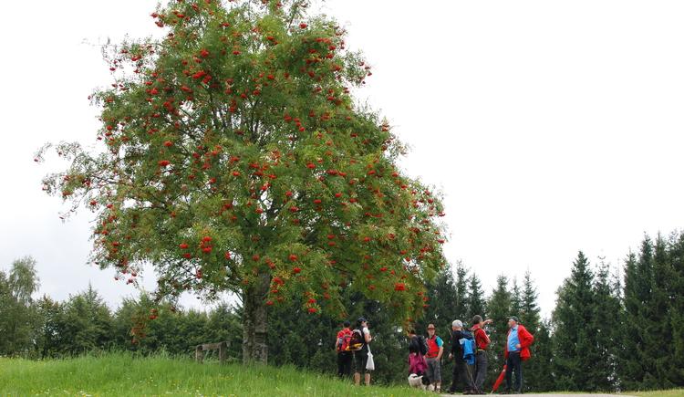 Kraft-Quelle-Baum Ahorn (© Gemeinde St. Johann am Wimberg)