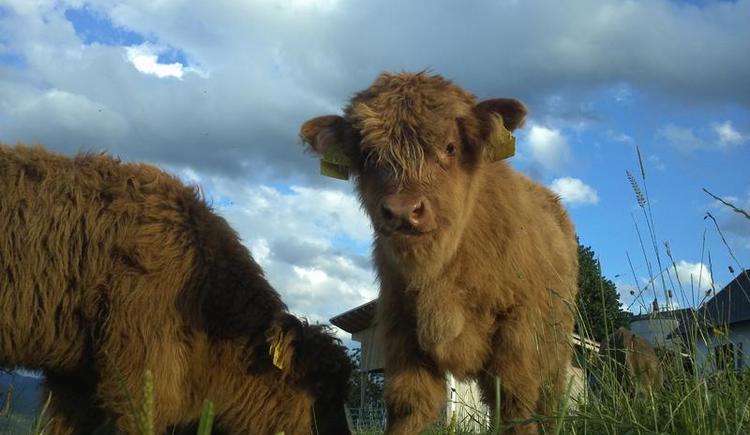 Unsere Rinder auf der Weide (© Bammer im Herndlberg)