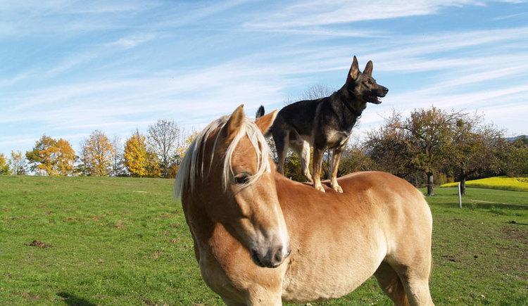 Hund auf Pferd (© Reit-Erlebnis-Akademie Mühlviertler Kernland)