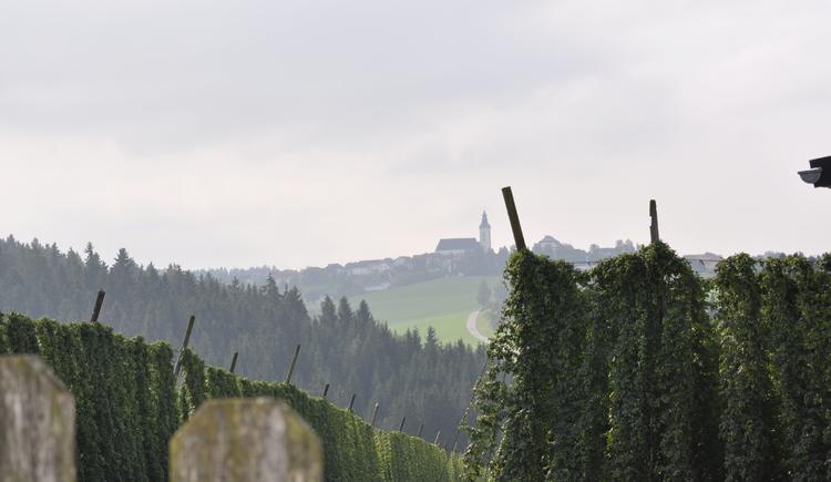 Hopfenanlage kurz vor der Ernte. (© Bräuer-Reiter)