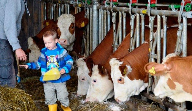 Kühe füttern (© Natschläger)