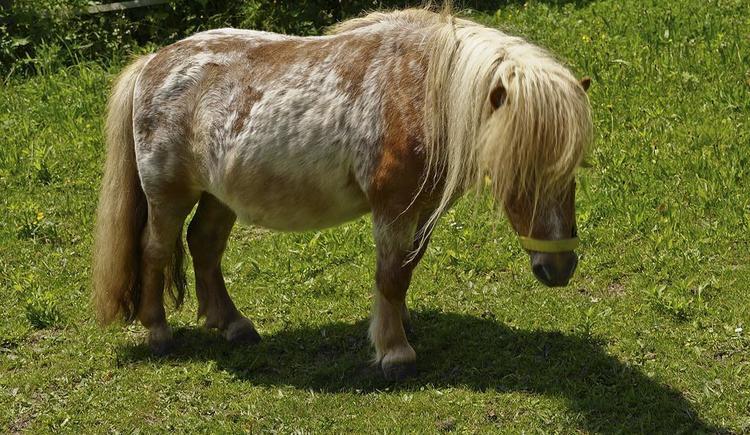 Obermayrgut Pony Friso