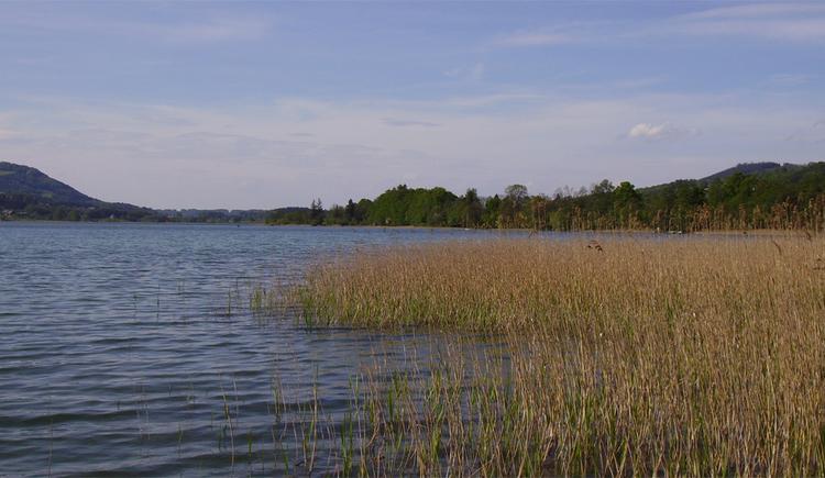 Blick auf den See, seitlich Schilf. (© Tourismusverband MondSeeLand)