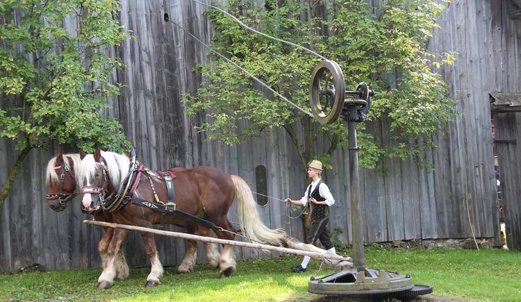 Nicht nur Pferde sondern auch Ochsen oder Kühe wurden früher in den Göpel eingespannt um Dreschmaschinen oder andere landwirtschaftliche Maschinen zu betreiben. (© Degn Film)
