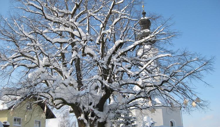 1000-jährige Linde von Faistenau in Schneepracht (© Tourismusverband Faistenau)