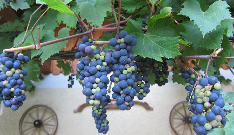 Weintrauben am Grillplatz (© Unteres Feld)