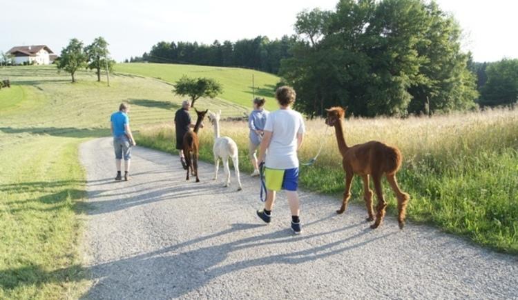 Alpacawanderung im Innviertel