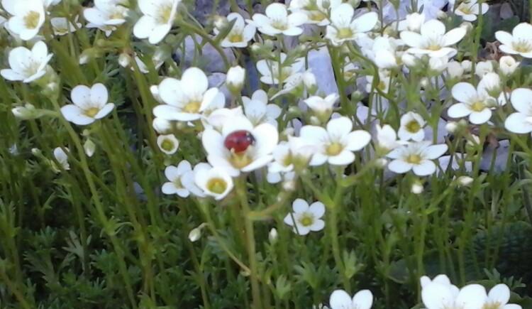 kleine weisse Blumen mit Marienkäfer. (© Karin Kogler)