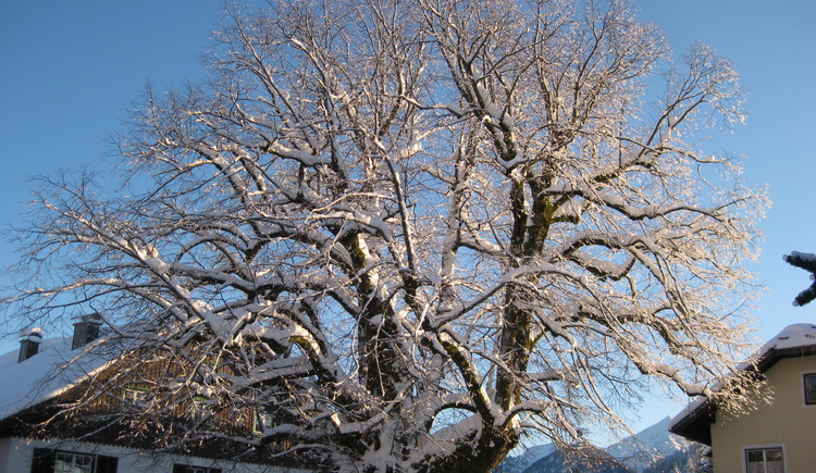 Linden tree in winter (© Tourismusverband Faistenau)