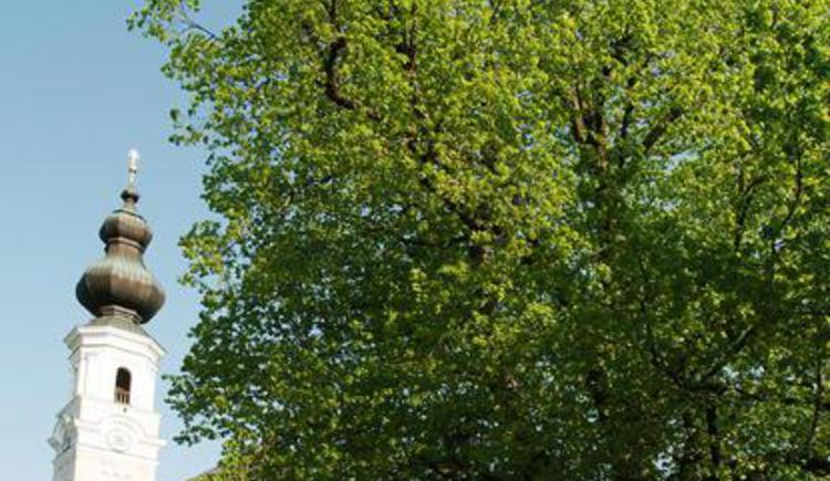 The linden tree of Faistenau (© Tourismusverband Faistenau)
